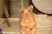 Продам РУЧНЫХ хомячков и капюшончатых крыс