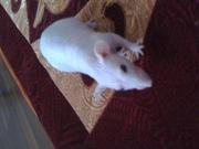 крыса Сфинкс ручная с клеткой