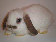 Мини крольчата карликовые барашки (вислоухие)